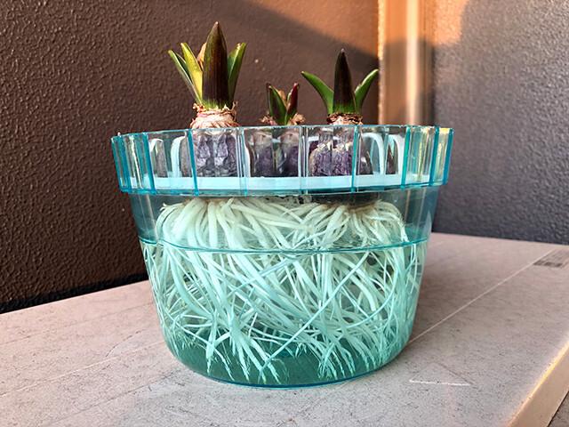 Hyacinths 210125
