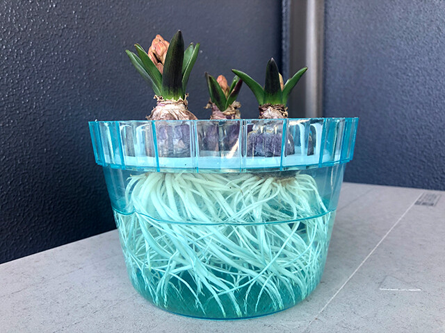 Hyacinths 210131