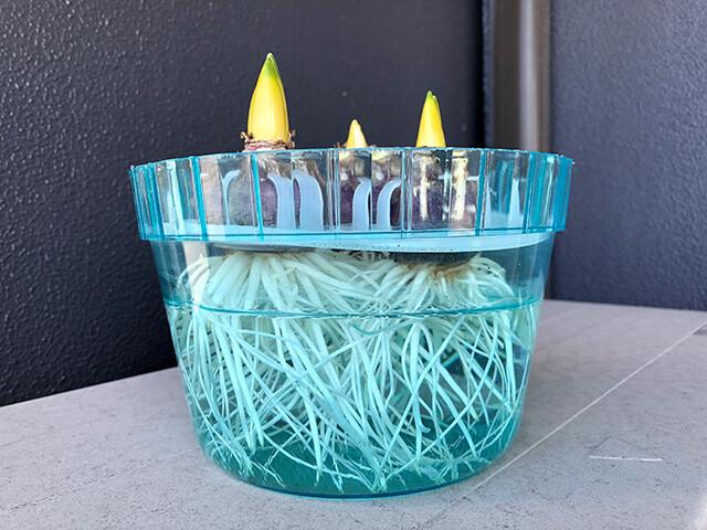 Hyacinths 210109