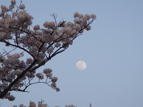 Cherry Blossoms with the Moon