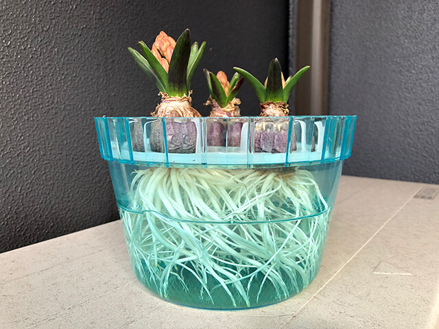 Hyacinths 210201