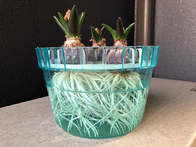 Hyacinths 210127