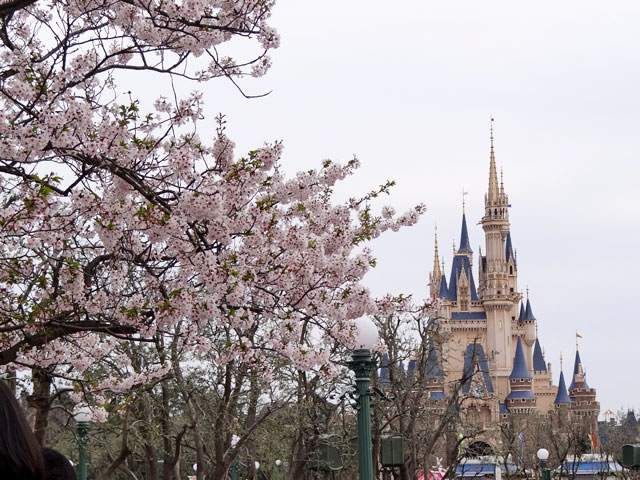 Cherry Blossoms at Tokyo Disneyland