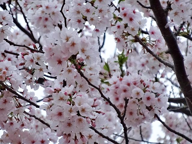 Cherry Blossoms in Tokyo Disneyland