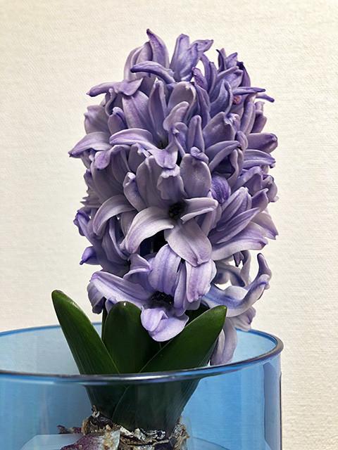 Hyacinth 190206