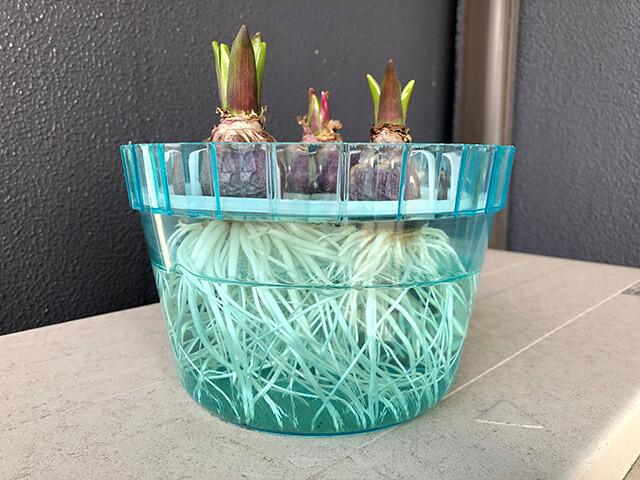 Hyacinths 210118