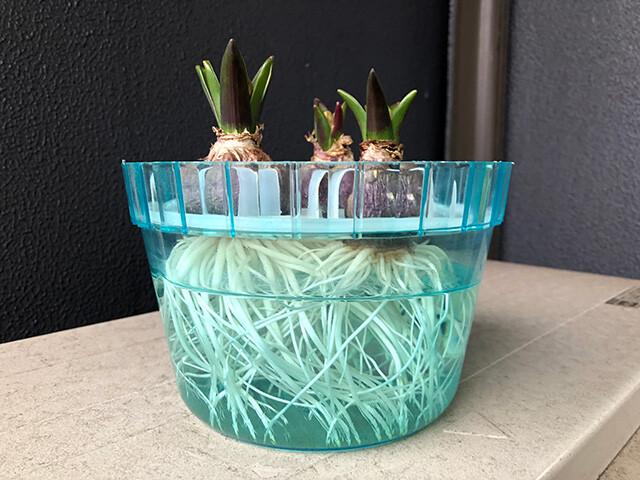 Hyacinths 210123