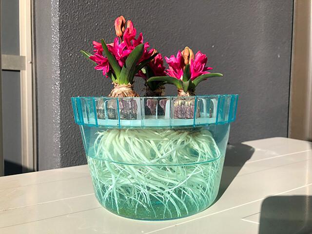 Hyacinths 210209