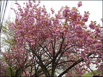Sakura in NIRS 4