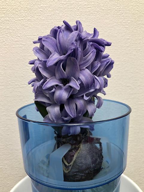 Hyacinth 190128