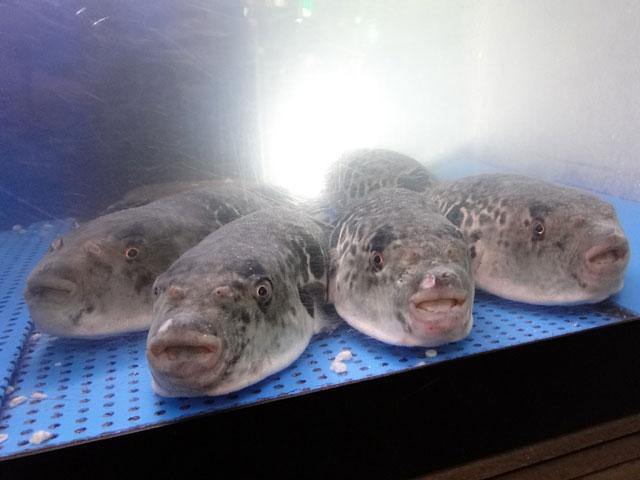 Blowfishs