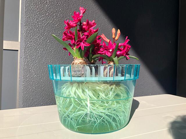 Hyacinths 210214