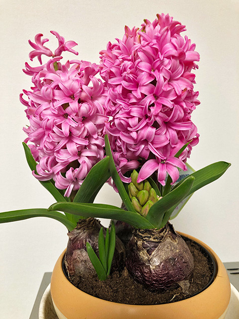 Pink Hyacinth 190304