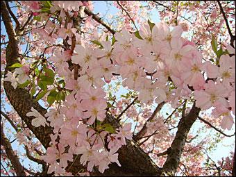 Sakura in NIRS 3