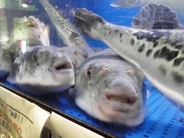 Blowfishes