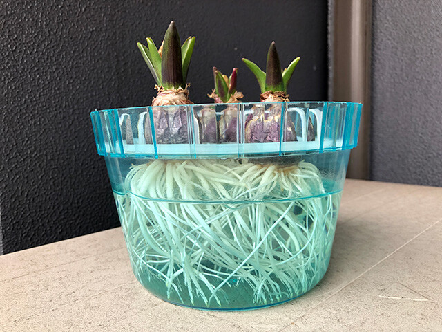 Hyacinths 210124