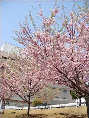 Sakura in NIRS 2