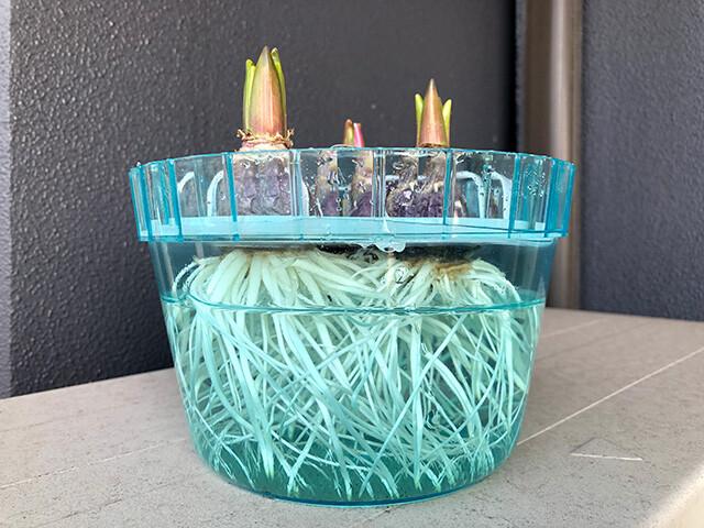 Hyacinths 210116