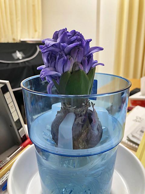 Hyacinth 190124