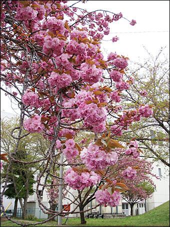 Sakura in NIRS 5