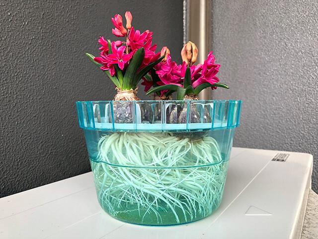 Hyacinths 210212