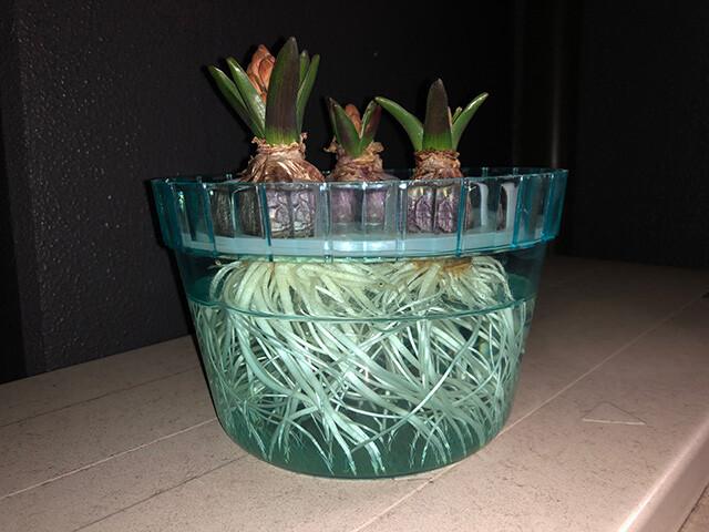 Hyacinths 210128