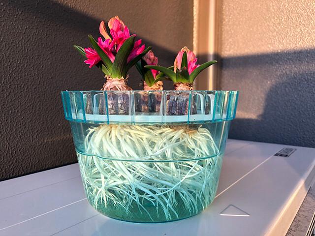 Hyacinths 210206
