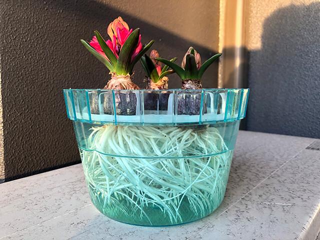 Hyacinths 210204
