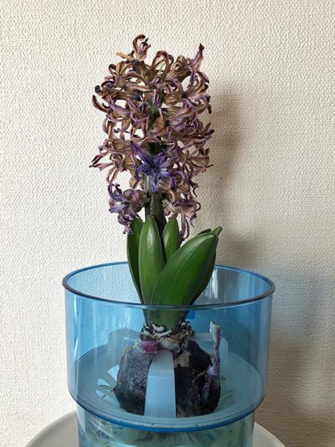 Hyacinth 190214