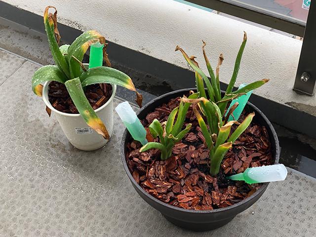 Hyacinth 190607
