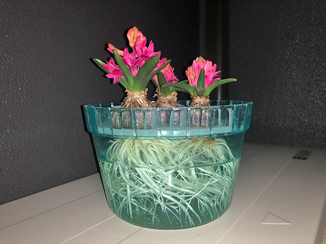 Hyacinths 210207