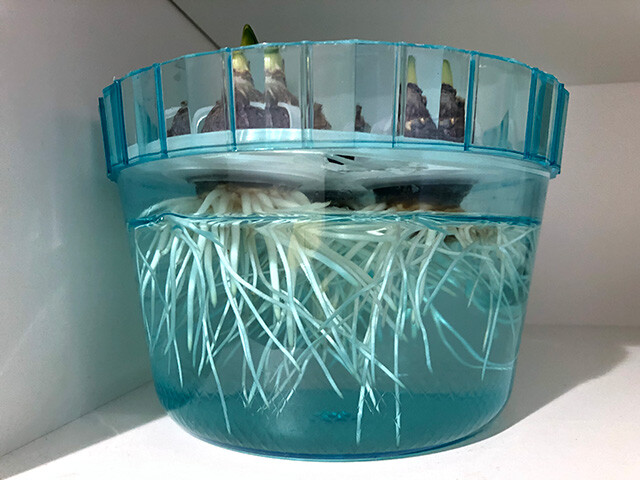 Hyacinths 210102