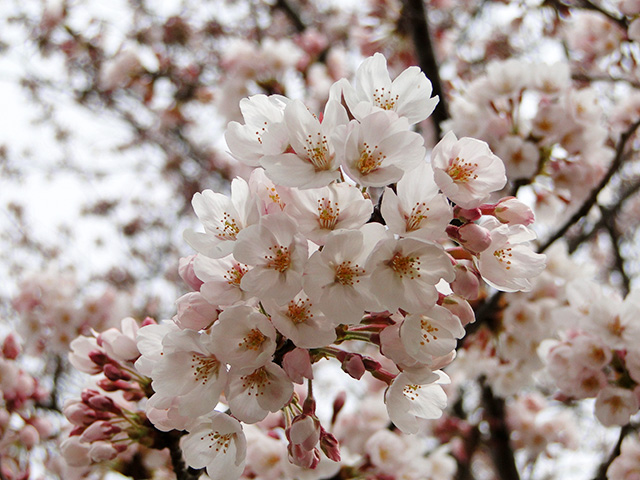 Cherry Blossoms at NIRS