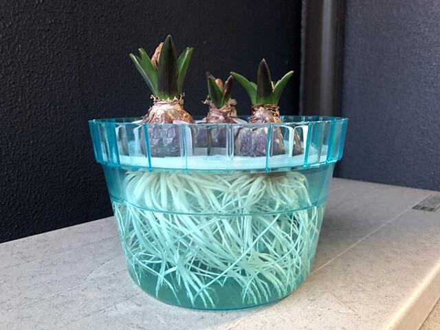 Hyacinths 210126