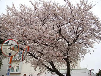 Sakura in NIRS