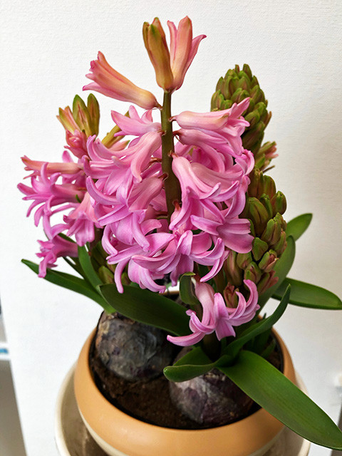 Pink Hyacinth 190301