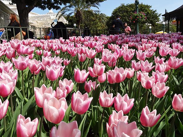 Tulips in Tokyo Disneyland