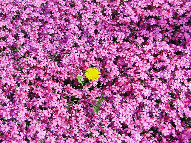 Moss Phlox with Dandelion