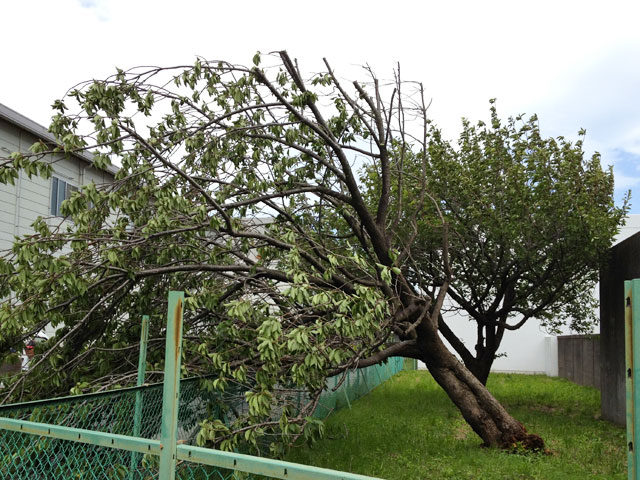Broken Cherry Tree