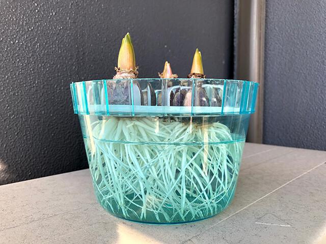 Hyacinths 210114