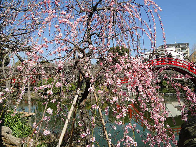 Plum Tree at Kameido Tenjin Shrine