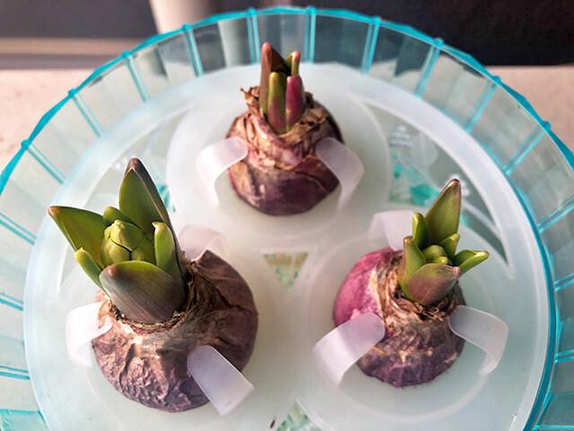 Hyacinths 210117