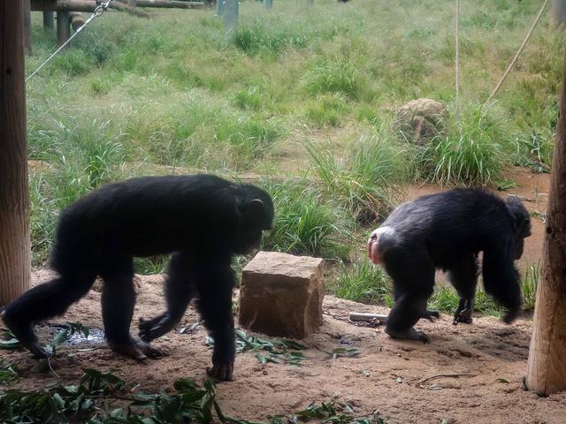 チンパンジー 10_edit