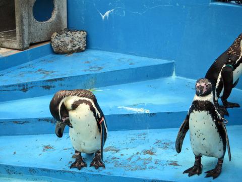フンボルトペンギン 1_edit
