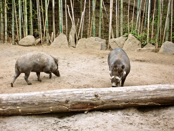 Visayan warty pig 1_edit