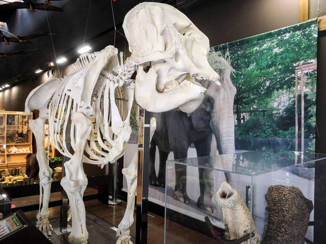 アジアゾウの骨格標本 4_edit