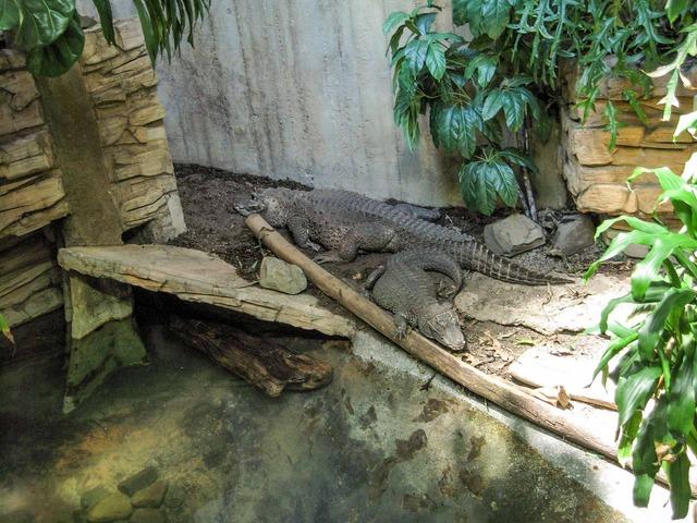Crocodile 1_edit