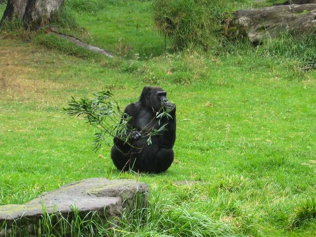 Gorilla 5_edit