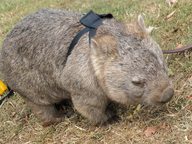 Wombat Walk 2_edit