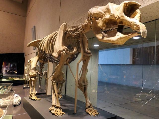 ディプロトドンの骨格標本 5_edit